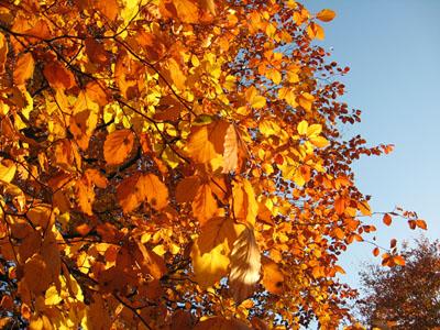 beech-tree-bootham-park-051112-400.jpg