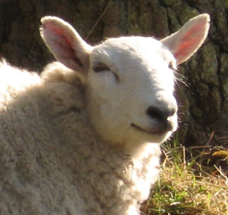 happy-sheep-strensall-3-060513-detl.jpg