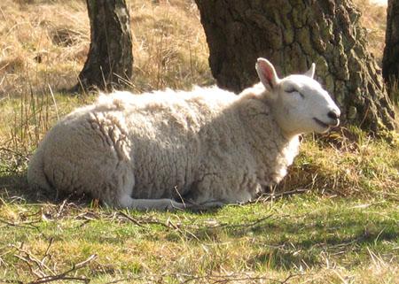 happy-sheep-strensall-common-060513-450.jpg