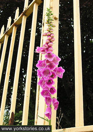 Foxglove by railings
