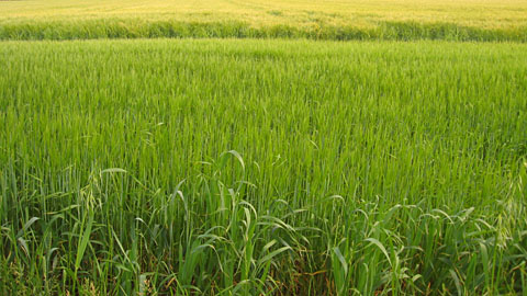 Close up of green field