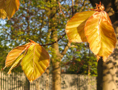 Young copper beech leaves