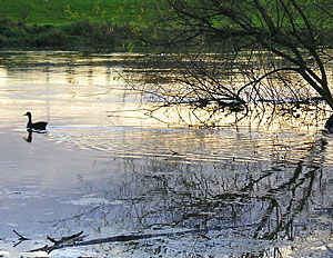 River at Clifton: reflections - calm, sunset, waterfowl