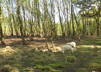 Sheep feeding under trees