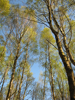 Looking up - trees, blue sky