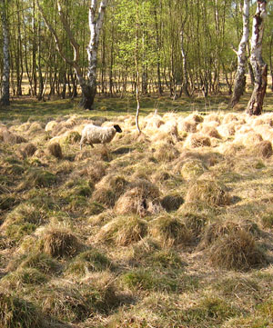 Sheep in vegetation