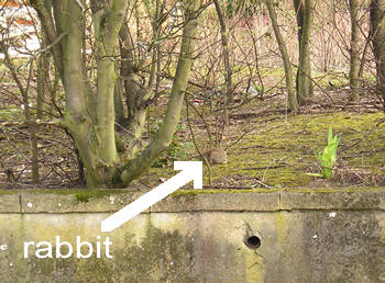 Rabbit spotted by river Foss, near Netto