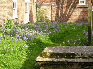 Bluebells in Holy Trinity churchyard