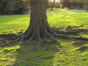 Venerable champion tree trunk, spring evening, 2006