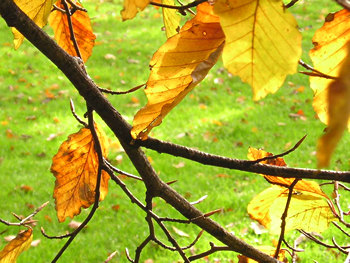 Beech tree leaves in autumn