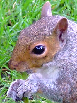 Squirrel, July 2007