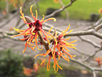 Witch hazel, Museum Gardens, Jan 2011
