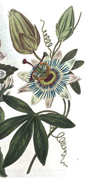 1812 illustration from 'New Flora Britannica'