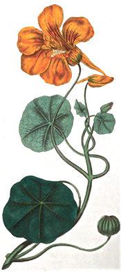 Nasturtium, 1812 illustration