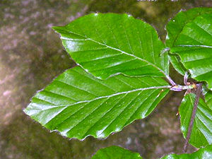 Beech tree leaves, May 2004