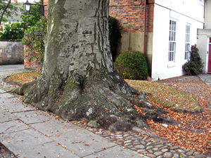 Massive beech tree in Minster Yard, York