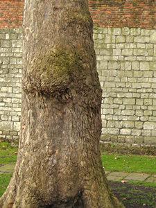 Museum Gardens tree