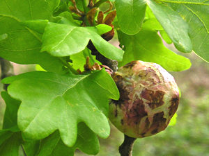Oak, young leaves, and ?oak gall?
