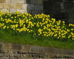 Daffodils on the city walls