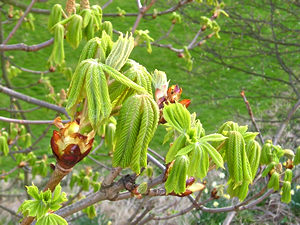 Horse chestnut leaves unfurling