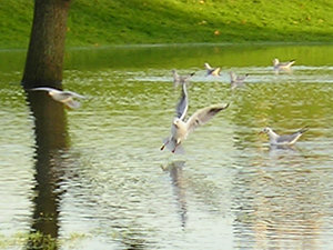 Gulls on the ings – 2