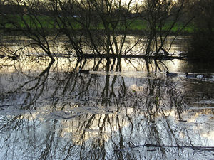 Trees reflected in Ouse, and ducks