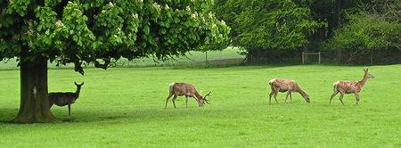 Deer, Sledmere