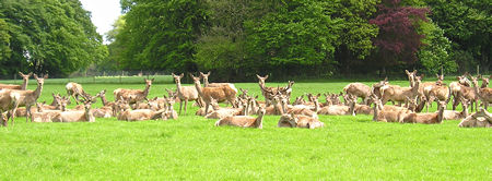 Lots more deer, Sledmere