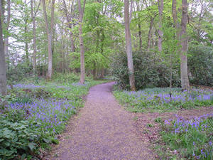 A carpet of bluebells, Moorlands Wood