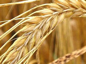 Barley (wheat?) detail