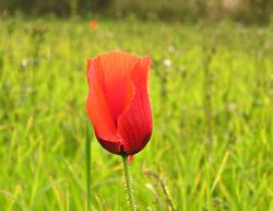 Poppy, at corn field edge