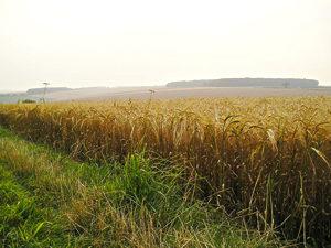Golden corn, ready for harvest