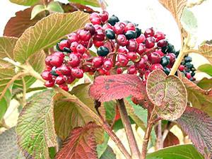 Hedgerow berries