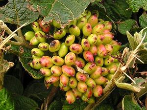 Hedgerow berries – 2