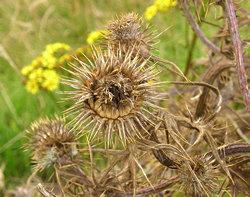 Wildflower seedheads