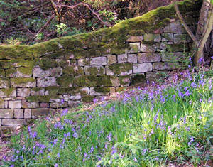 Bluebells – woodland by Fewston Reservoir