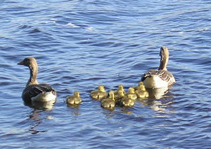 Geese and goslings, Fewston Reservoir