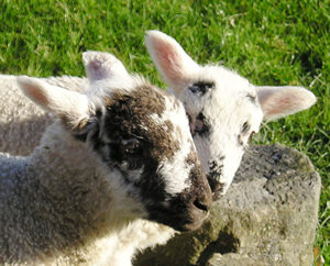 Spring lambs, Fewston Reservoir walk, May 2004