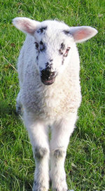 Spring lamb, Fewston Reservoir walk, May 2004