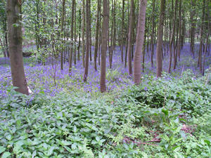 Bluebell woods, 23 May 2005