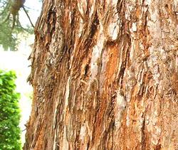 Trunk of redwood tree
