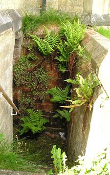 Native ferns, established in brickwork, Welburn village church