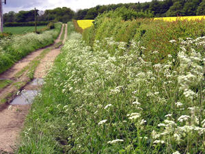 Whitwell Road hedgerow