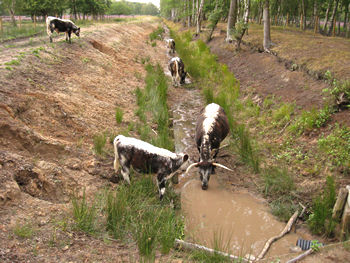 Cattle drinking from a stream, Skipwith Common